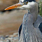 Portrait Of A Blue Heron Poster