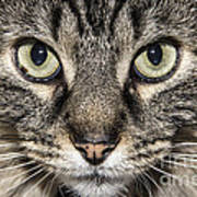 Portrait Of A Cat Poster