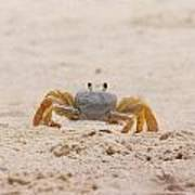 Portrait Of A Ghost Crab Poster