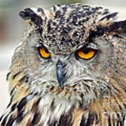 Portrait Of A Great Horned Owl II Poster