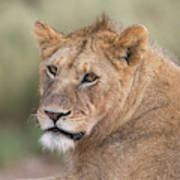 Portrait Of A Lioness, Panthera Leo Poster