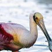 Portrait Of A Roseate Spoonbill Poster