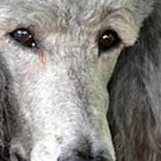 Portrait Of A Silver Poodle Poster