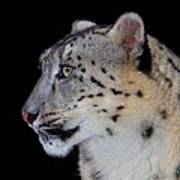 Portrait Of A Snow Leopard Poster