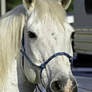 Portrait Of A White Horse Poster
