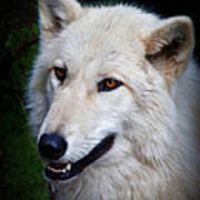 Portrait Of A White Wolf Poster