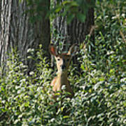 Portrait Of A Whitetail Fawn II Poster