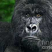 Portrait Of A Wild Mountain Gorilla Silverbackhighly Endangered Poster