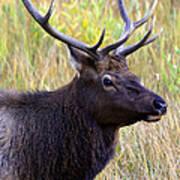 Portrait Of An Elk Poster