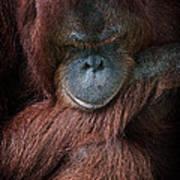 Portrait Of An Orangutan Poster