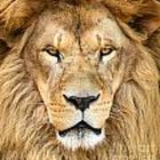Portrait Of Beautiful African Lion Poster