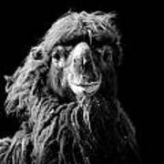 Portrait Of Camel In Black And White Poster