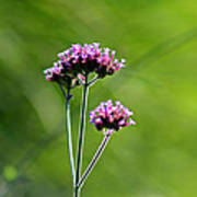Portrait Of Purple Verbena Poster