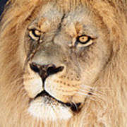 Portrait Of The Lion Poster