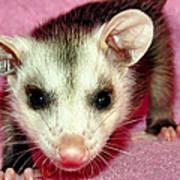 Poser Possum Poster
