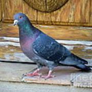 Posing Pigeon  Poster