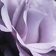 Posing Purple Rose Flower Poster