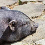 Potbelly Pig Poster