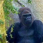 Powerful Female Gorilla Poster