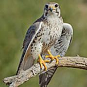 Praire Falcon On Dead Branch Poster