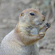 Prairie Dog Cleaning His Teeth Poster