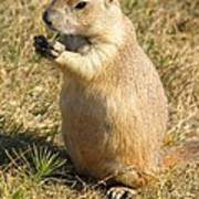 Prairie Dog Feeding On The Meadows At The Devil's Tower Poster