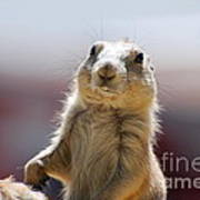 Prairie Dog With Buck Teeth Poster