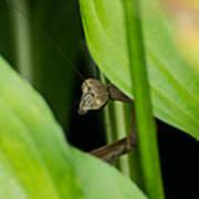 Praying Mantis Peekaboo Poster