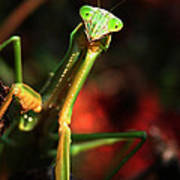 Praying Mantis Portrait Poster