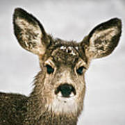 Precious - Mule Deer Fawn - Casper Mountain - Casper Wyoming Poster