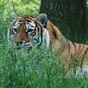 Predator In The Grass Poster