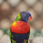 Pretty Bird - Rainbow Lorikeet Poster