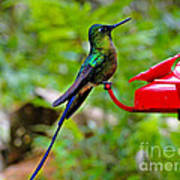 Pretty Blue-tailed Hummer In Mindo Poster