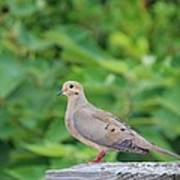Pretty Dove Poster