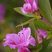 Pretty Fuschia Rhododendron Poster