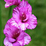 Pretty Gladiolus Poster