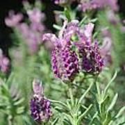 Pretty In Lavender I Poster