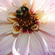 Pretty In Pink - Dahlia Poster