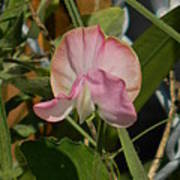 Pretty In Pink Sweet Pea Poster