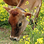Pretty Jersey Cow Square Poster