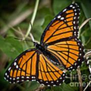 Pretty Monarch Poster