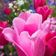 Pretty Pink Tulip And Field With Flowers And Tulips Poster
