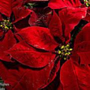 Pretty Poinsettias  Poster