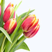 Pretty Red And Yellow Tulips On White Background Poster