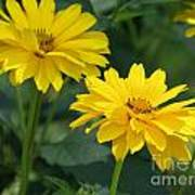 Pretty Yellow False Sunflowers In Bloom Poster