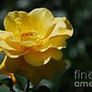 Pretty Yellow Rose Blossom Poster