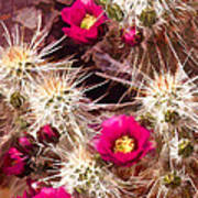 Prickley Cactus Plants Poster