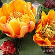 Prickly Pear Blossom Orange Poster