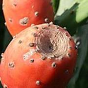 Prickly Pear Cactus Fruit - Indian Fig Poster