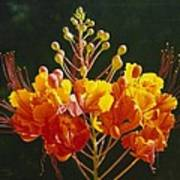 Pride Of Barbados Poster